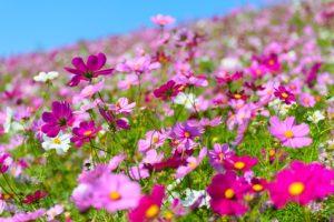 秋を代表する花、コスモス