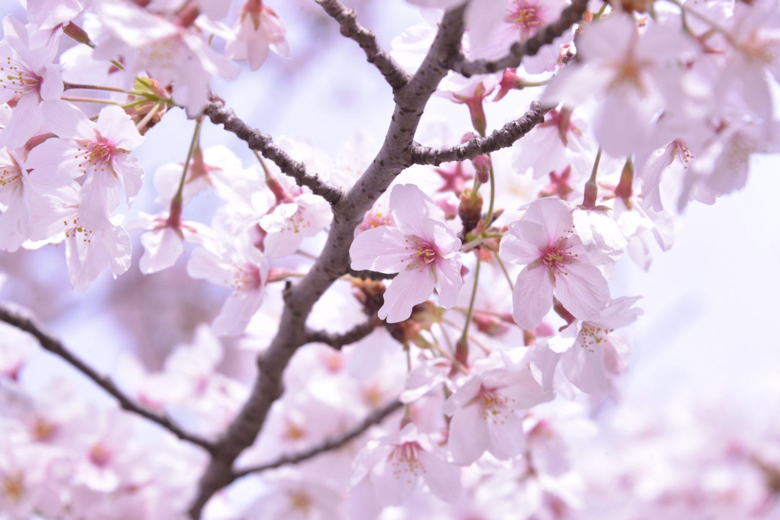 桜が満開でした🌸